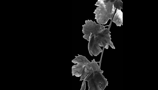 αμπελόφυλλα