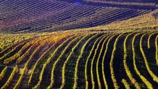 Weingärten Neckenmarkt