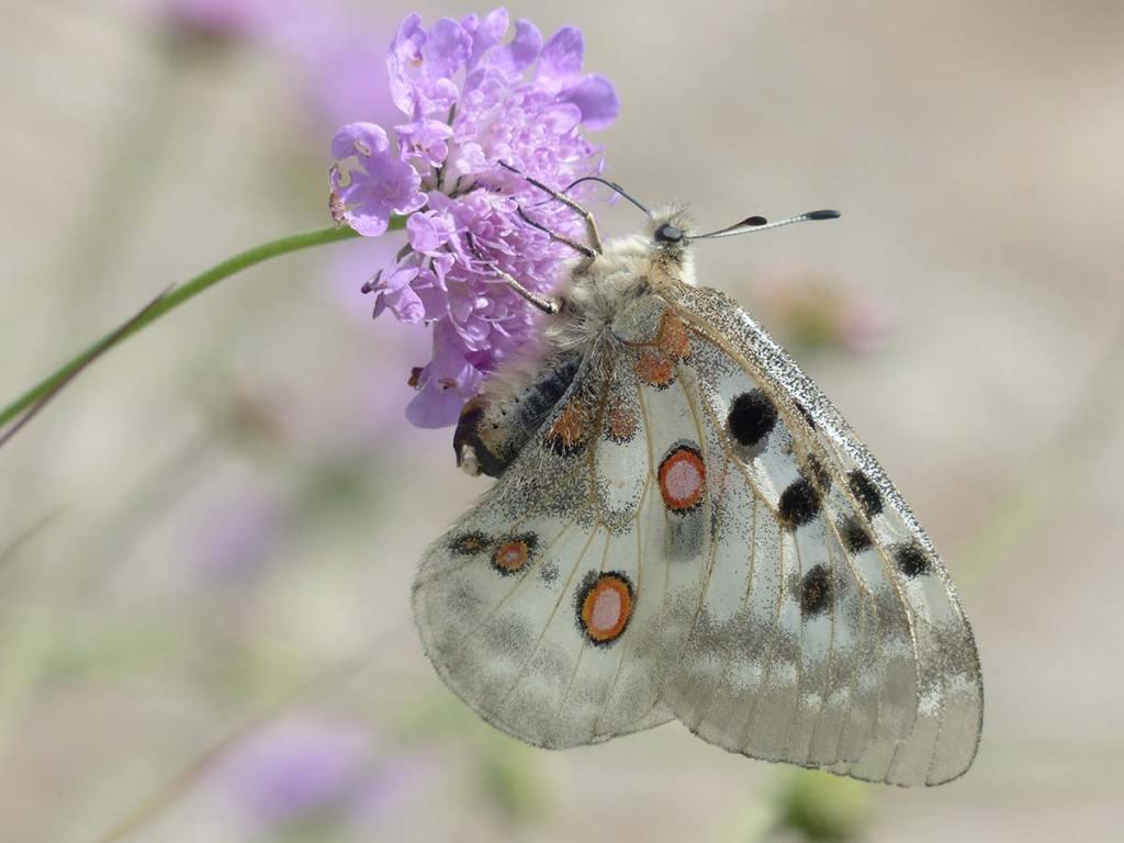 Schmetterling-Apollo