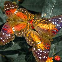 Чешуекрылые, или бабочки. Интересные факты