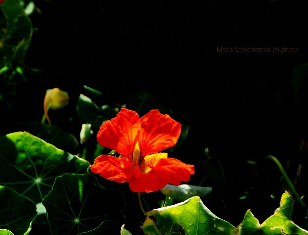 Záber oranžového kvetu pupenca a jeho zelených listov s čiernym pozadím.