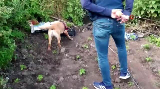 Hassa burun 'Roket', kenevir bahçesini buldu