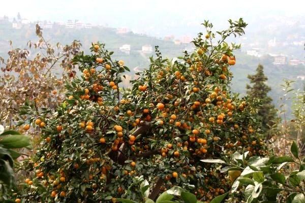 rize de mandalina hasadi basladi 12 13778154 o - Rize'de mandalina hasadı başladı