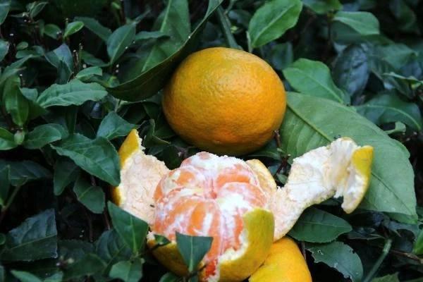 rize de mandalina hasadi basladi 9 13778154 o - Rize'de mandalina hasadı başladı