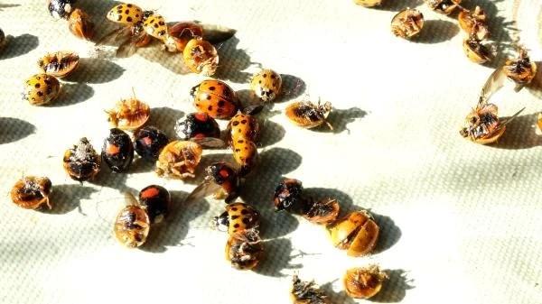 rize yi istila eden ugur boceklerinin sirri o 6 13778603 o - Rize'yi istila eden uğur böceklerinin sırrı ortaya çıktı