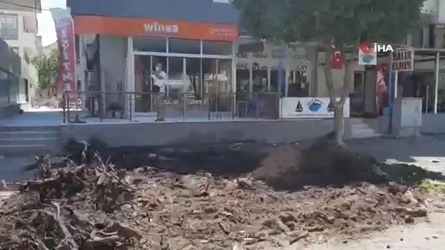 Dikili'de 80 yıllık okaliptüs ağaçları kesildi