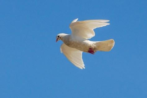 Почтовый голубь. Фото Николая Ефремова