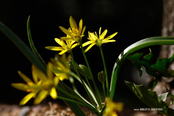flower_20130425_varlok