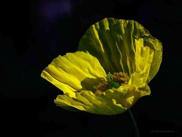 flower_20140526_poppy