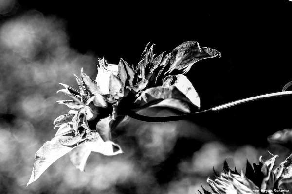 bw_20140601_flower1