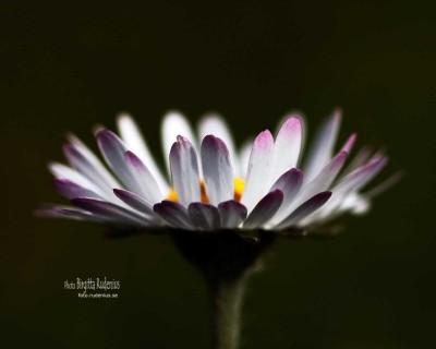 flower_20110504_daisy