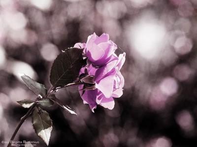 rose_2011