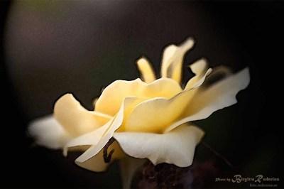 rose_20111116
