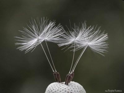 blom_20150514_dandelion