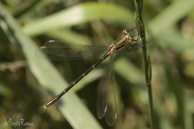 dragonfly_20150701_2