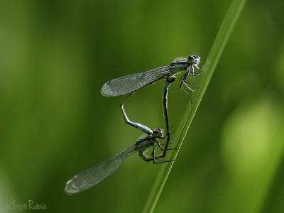 dragonfly_20150713_hjul
