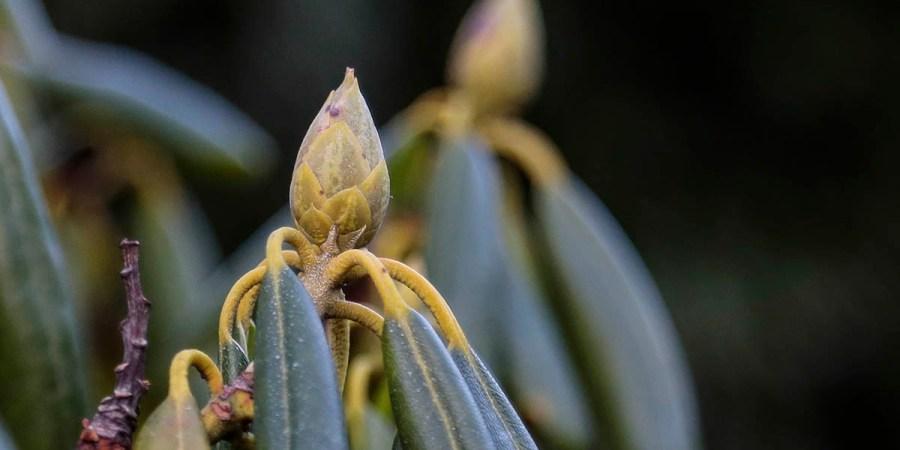 Bud waiting for flowering. Knopp som väntar på att få slå ut.