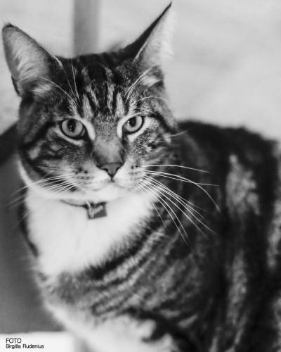 Måns - finaste katten i Lund