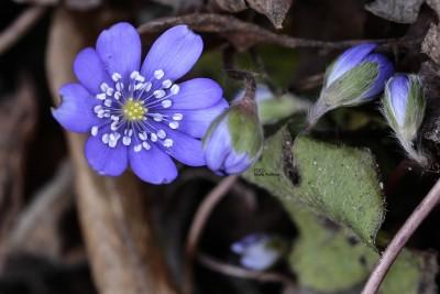 Anemone Hepatica - Blåsippa