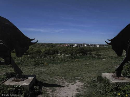 Bulls on the hill outside Lund.