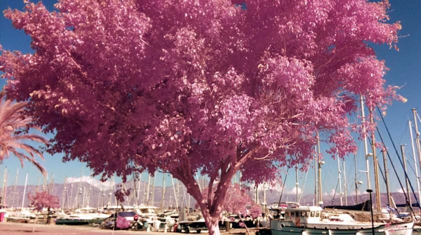Rosa träd