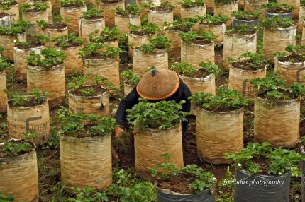 Strawberry Farmer. Located in Bandung, Indonesia.