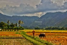 The Crop Season is coming. Location: Balige, North Sumatera, Indonesia