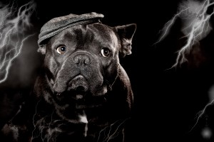 Französische Bulldogge, Hund, Tier