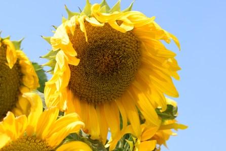 Ria Jenné-sunflower