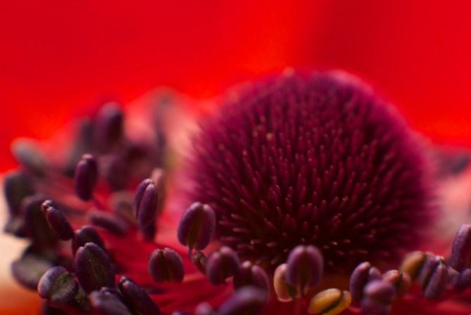 anemona (3)