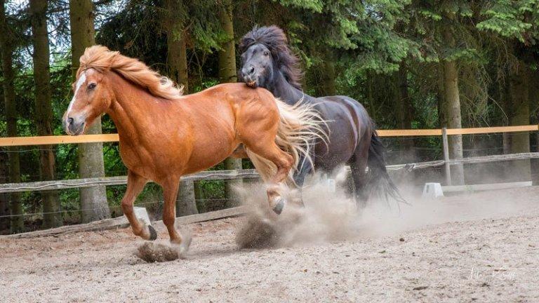 Rød-og-sort-hest-i-fart-i-hestefold