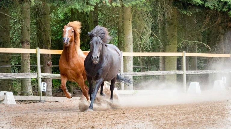 Rød-og-sort-hest-i-galop-i-hestefold
