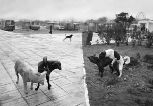 Pentti Sammallahti foto bianco e nero cani