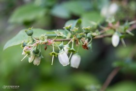 Heidelbeerblüten