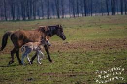 Wildpferde in Dülmen/ Münsterland