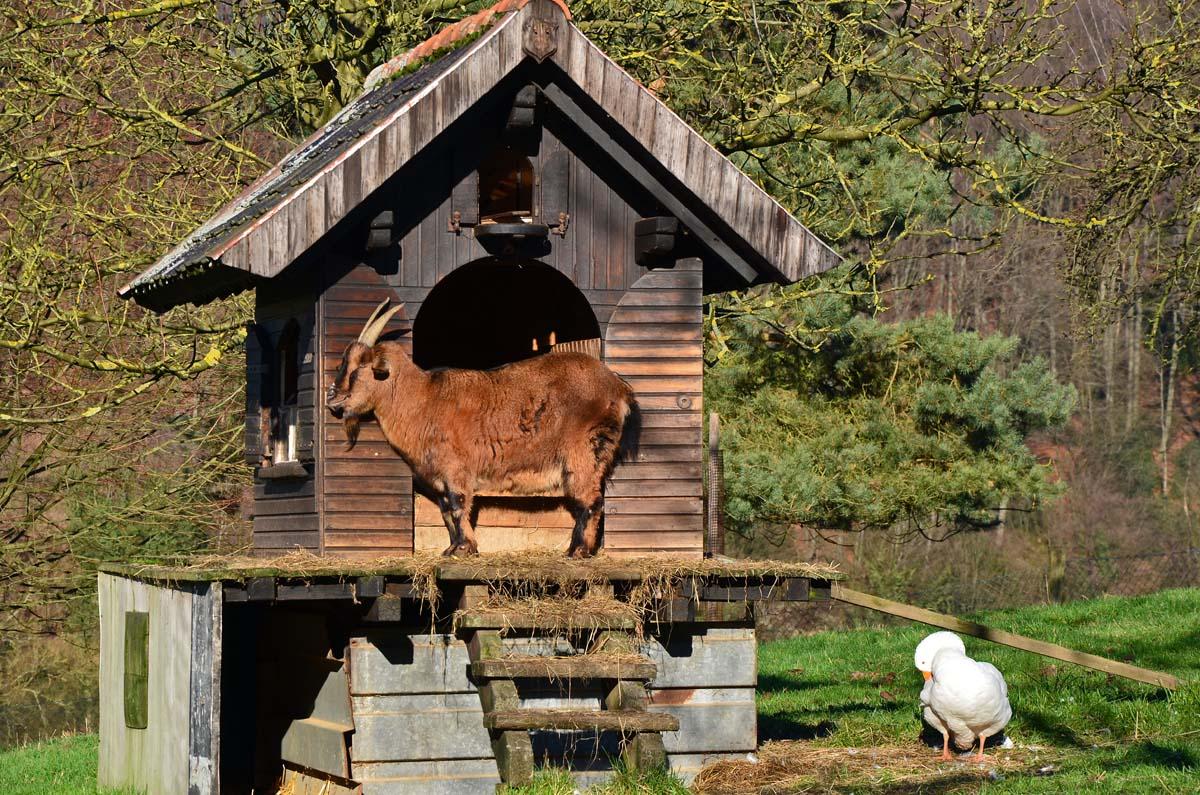 Der Bock auf seinem Haus