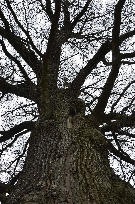 Der Blick hoch in den kahlen Baum