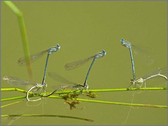 Blaue Federlibelle bei der Paarung