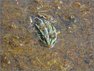 Herfeld Tour - Ein Frosch