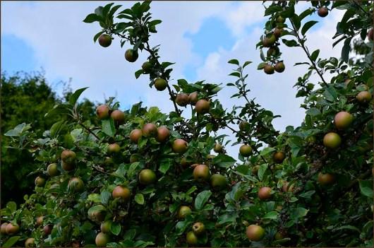 Die Obstbäume hängen voll, der kalte Start in das Fruchtjahr scheint keine so erheblichen Schäden angerichtet zu haben.