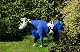 Kuh im Blaumann