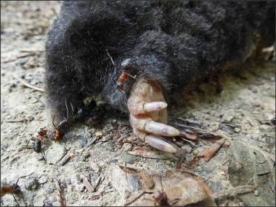 Die Ameisen als Waldpolizei, sie beseitigen einfach alles
