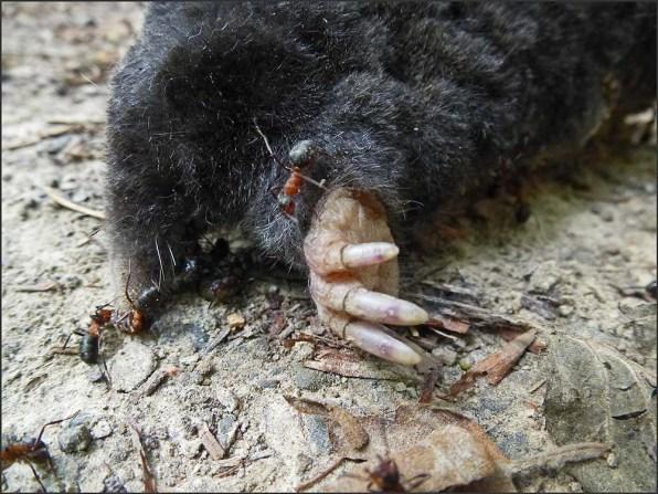 Ein toter Maulwurf im Felderbachtal in der Elfringhauser Schweiz