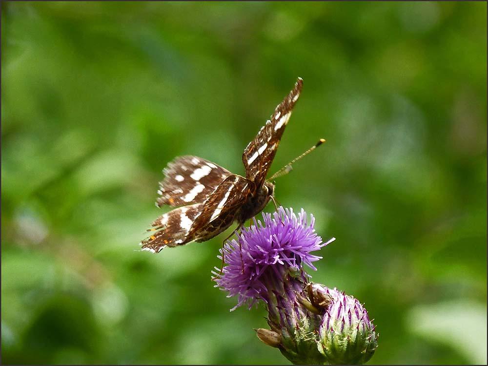 Schmetterfalter1
