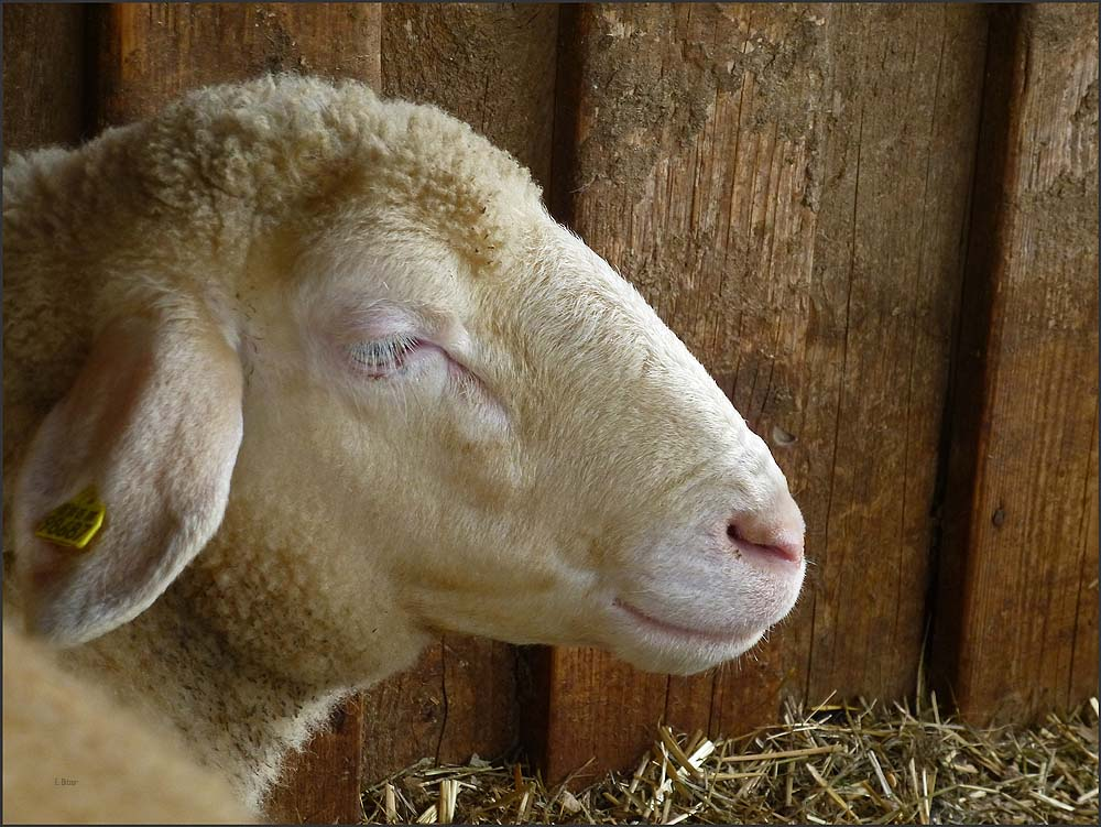 Schaf am Thomashof