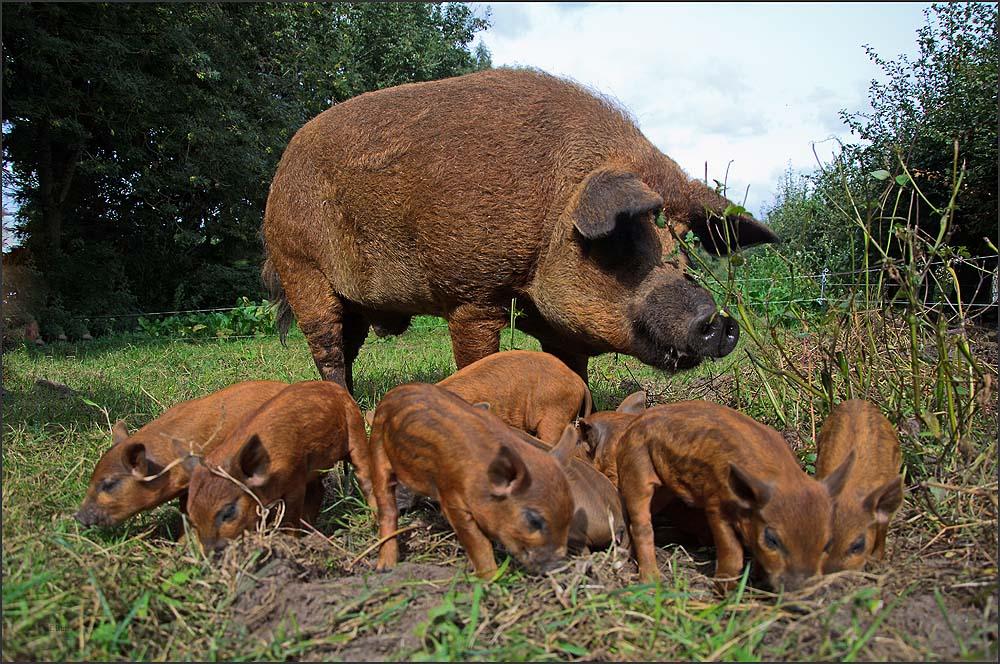 Mangalitzaschweine - Sau mit Ferkel