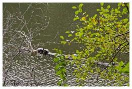 Schildkröten in der Diepentalsperre. Diese Tatsache ist mir neu
