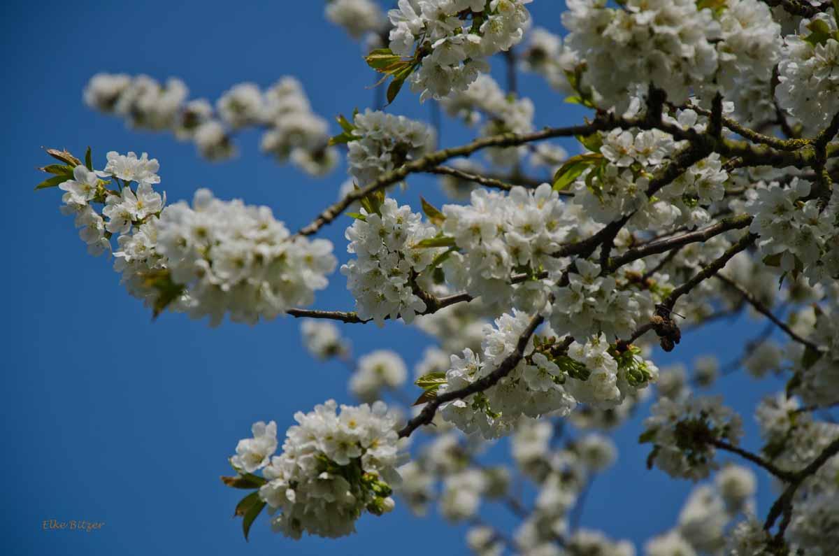 Blütenpracht auf dem Streuobstwiesenweg