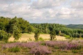 Die Heide blüht, allerdings nur in Langenscheid