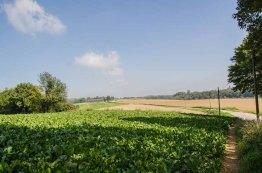 Große Felder mit gut gereiften Zuckerrüben